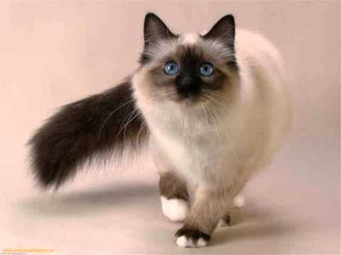Siamese cat domestic cat medium to large cat long hair cat