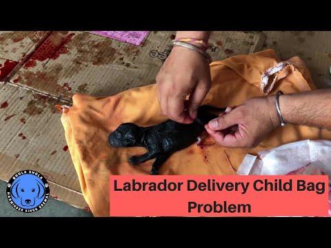 Labrador Delivery Puppy Bag Problem - Bhola Shola