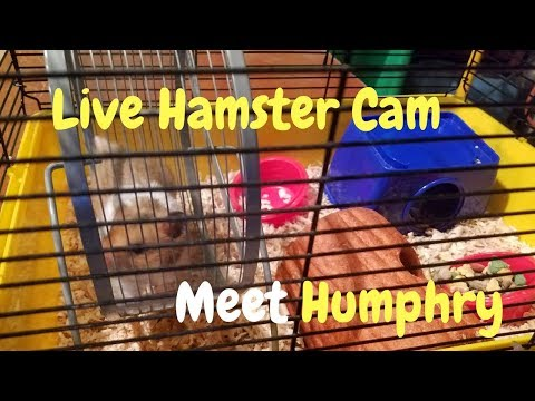 meet-the-adorable-humphry-live-hamster-cam-cute-hamster-footage-hamster-cam