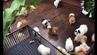 Thanh Lý Đàn Phốc Sóc 200k /1 Bé . Chó Cảnh Đẹp Giá Rẻ
