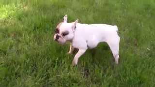 French Bulldog Coco Fetch Zoomies
