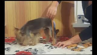 Данное видео наглядно показывает как сделать замеры при покупке коляски для животного инвалида