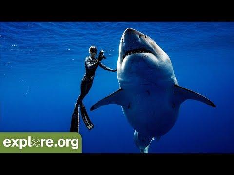 Ocean Ramsey Encounters GIANT 20ft Great White Shark - 동영상