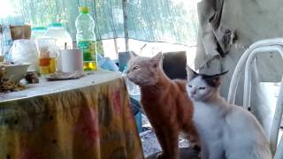 Коты прячутся от хозяина.
