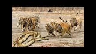 TİGER vs PYTHON Real Fight ►► Snake Leopard Wild Boar Grizzly Bear Lion Hippo - Animal Attacks