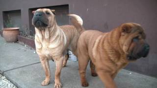Cute Shar Pei Kennel