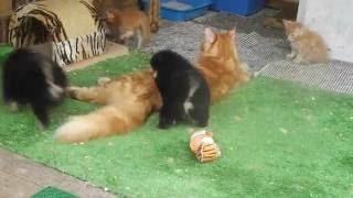 Шпицы  в гостях у кошек