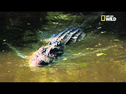 Un alligator très futé