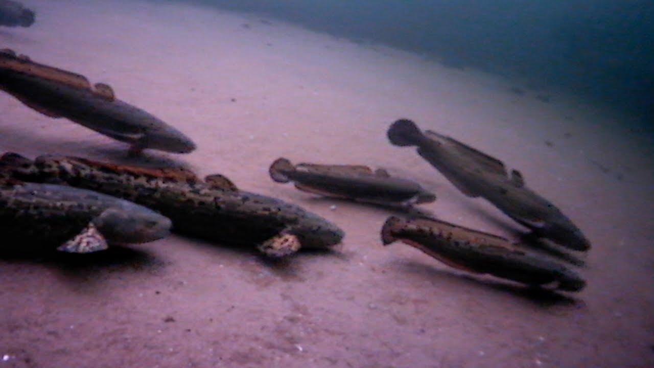 INSANE Underwater Burbot Spawning Action — HD Footage ☑️