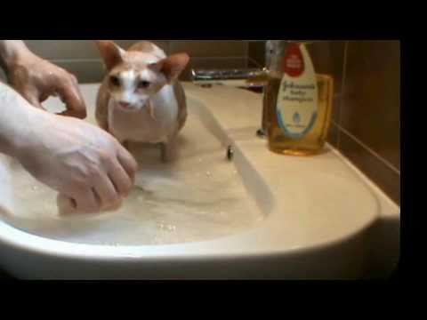 Sphynx Cat Bathing