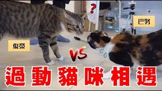 【豆漿實測】俊榮遇到另一隻過動貓咪 結果會是?  ft.巴努