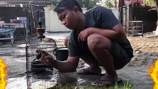 Cara Menjinakan burung ciblek bahan dengan mudah