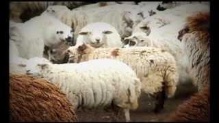 Las alpacas en la línea de frente para luchar contra la pobreza en los Andes