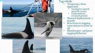 Using DTAGs to study acoustics and behavior of Southern Resident killer whales by Candice Emmons,