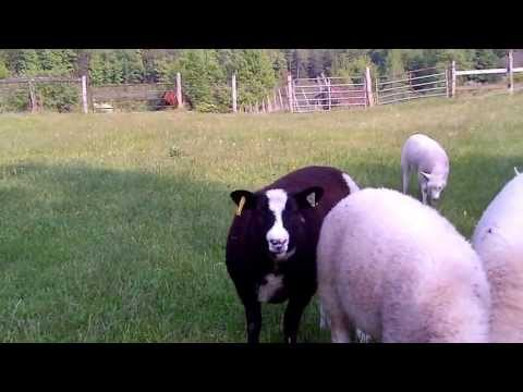 Hawthorne Manor Sheep