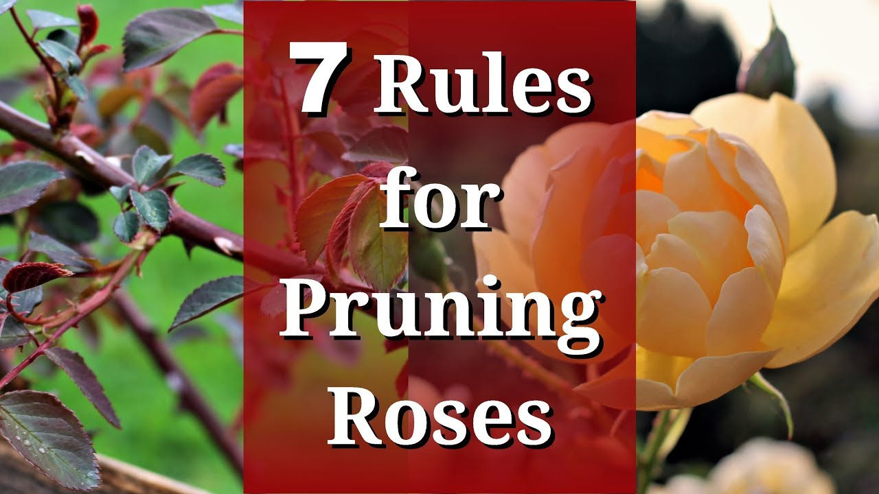 7 Rules For Pruning Roses Youtube