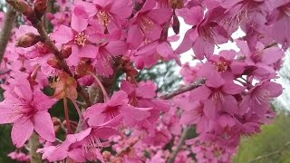Prunus 'Collingwood Ingram' video