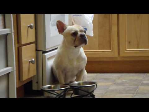 How my French Bulldog Tigger tells me: 'I WANT WATER!!!'