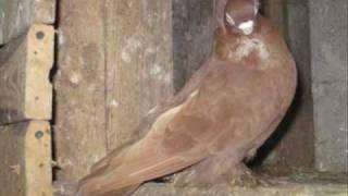 Gołębie - wywrotek mazurski