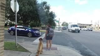 "Retriever Mix ""Wrigley"" | Outstanding Transformation | Dog Training San Antonio"