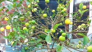 गमले में निम्बू की भरपूर पैदावार कैसे लें // How to grow plenty of lemons in pot //
