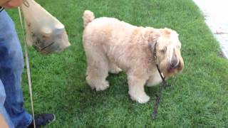 Wheaten Terrier, Miniature Schnauzer, And Chihuahua Playing Together