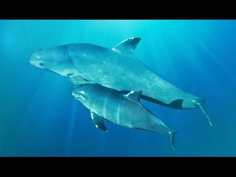 Effort To Capture Remaining Vaquita Porpoises Continues