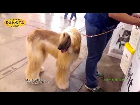 Выставка собак в Киеве, 28 04 2018 часть 2