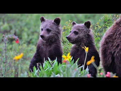 Wildlife Photography - GRIZZLY BABIES  4K / slow motion - Jackson Hole / Grand Tetons / Yellowstone