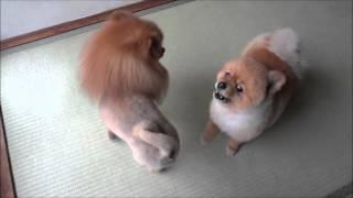 ライオンVSポメラニアン ポメラニアンカンフー Pomeranian Kung Fu その...