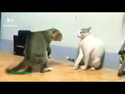 Funny video cats fighting