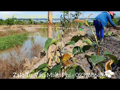 Cách trồng và nhân giống lê đỏ nam phi, lê vàng #dautay-giongcayanqua