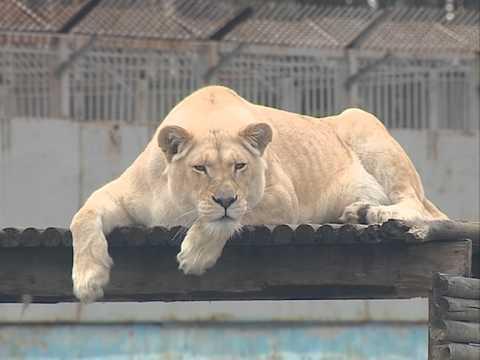 В Ярославском зоопарке показали белых львят