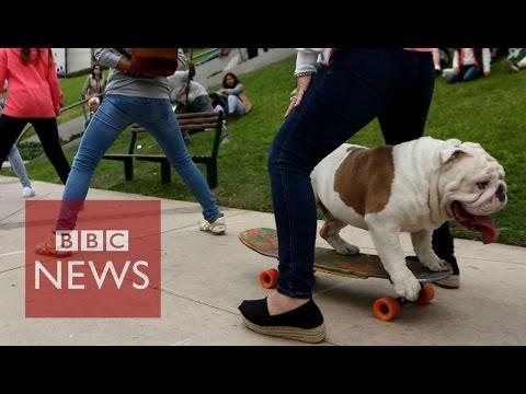 Бульдог-скейтбордист попал в Книгу рекордов Гиннесса