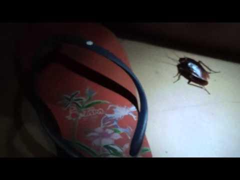 Огромный таракан в Таиланде! Тапка для него маловато. )))