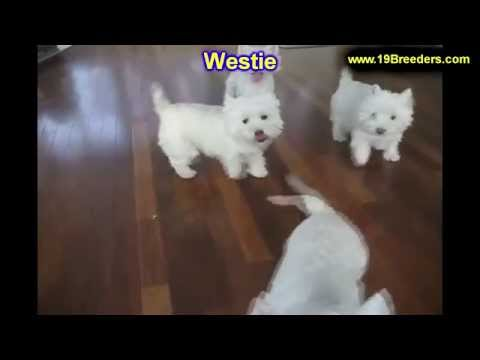 West Highland White Terrier, Westie, Puppies, Dogs, For Sale, In Huntington, County, West Virginia