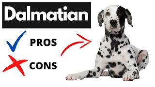 Dalmatian Pros And Cons   The Good And The Bad!!