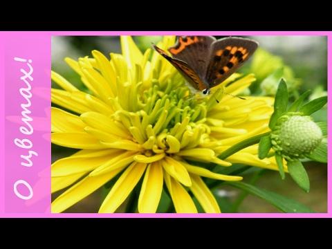 """Желтые цветы для сада - """"посадил и забыл""""! Неприхотливые многолетние цветы."""