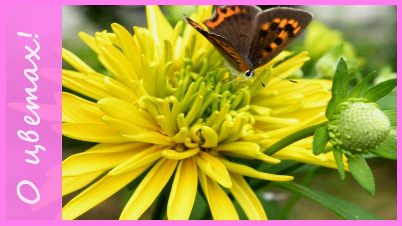 """Желтые цветы для сада - """"посадил и забыл""""! Неприхотливые ..."""