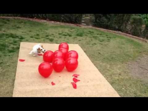 Twinkie balloon popping dog