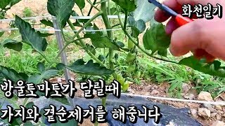 방울토마토 가지치기 방울토마토 곁순제거를 해줍니다 방울…