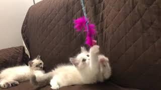 Playful ragdoll kittens