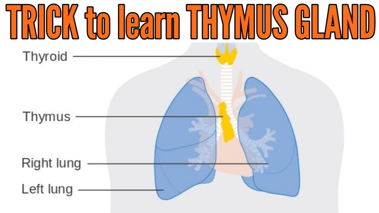 Trick To Learn Thymus Gland Location Hormones And Functions Youtube