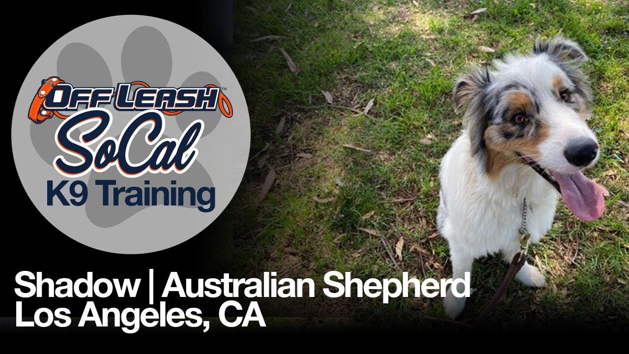 Australian Shepherd | Shadow | Los Angeles, CA