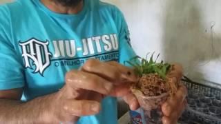 Plantio De Bebês De Catasetum Orquídeas