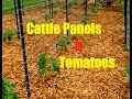 Cattle Panels & Tomatoes~