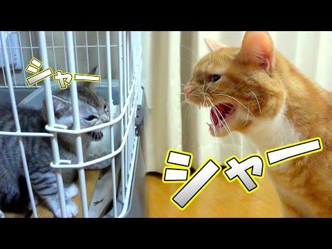 先住猫と新入り子猫がシャーッと威嚇し合って喧嘩している。【猫 喧嘩】