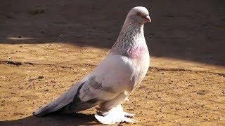 Почему бойные голуби забиваются (заигрываются)!?