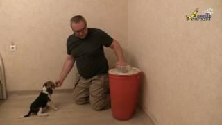 Воспитание у щенка бигля выдержки, дрессировка собак в домашних условиях