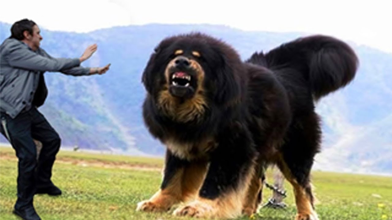 Heaviest Dog Breed In The World